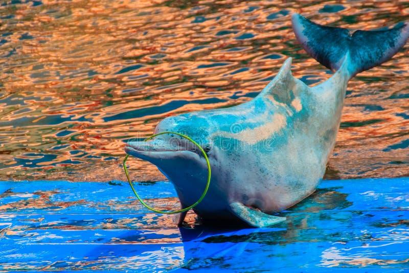 El delfín jorobado Indo-pacífico lindo (Sousa chinensis), o el rosa hace foto de archivo