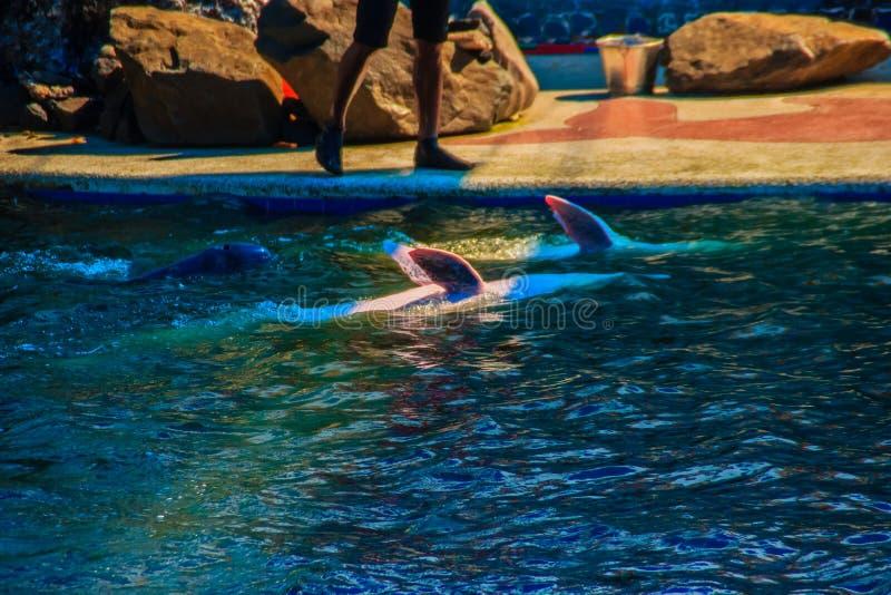 El delfín jorobado Indo-pacífico lindo Sousa chinensis, o el rosa hace foto de archivo