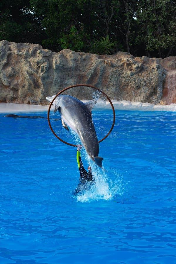 El Delfín Que Salta A Través De Aro Fotos de archivo