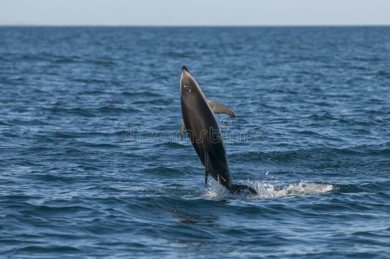El delfín salta imagenes de archivo