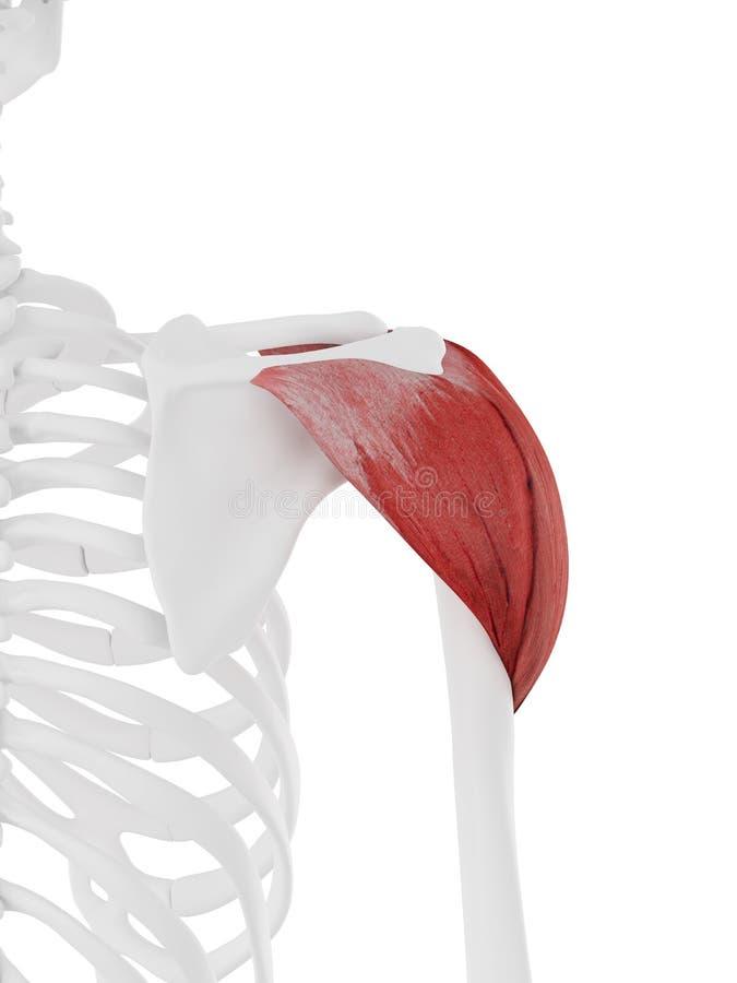 El deltoideo ilustración del vector