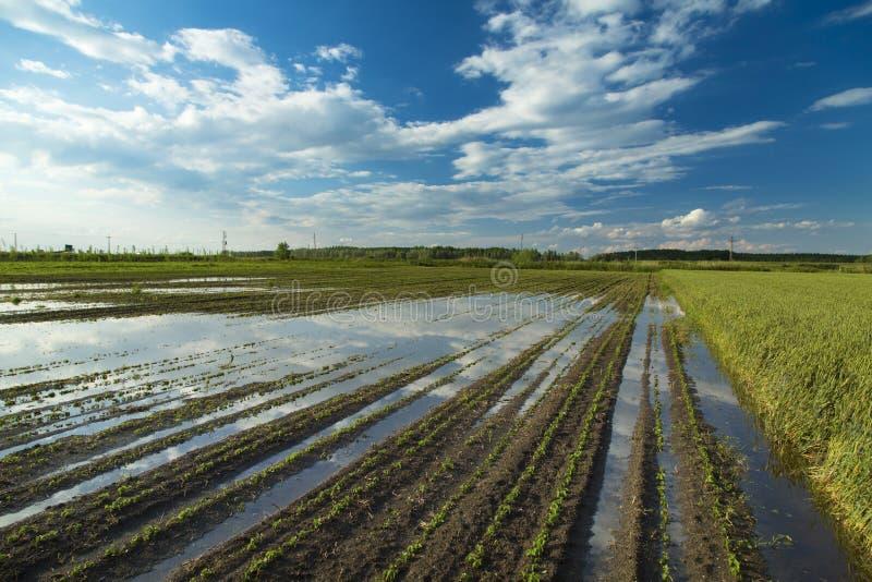 El desastre agrícola, campo de la soja inundada cosecha foto de archivo libre de regalías