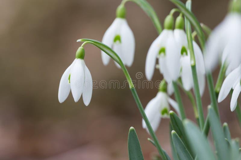El descenso temprano de la nieve de la primavera florece la floración foto de archivo libre de regalías