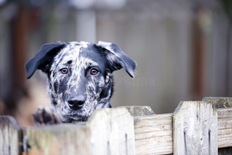 El desear detrás de la vida dura de la cerca o del perro de yarda imagenes de archivo