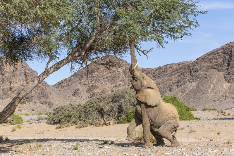 El desierto adaptó el elefante que alcanzaba para una alimentación fotos de archivo libres de regalías