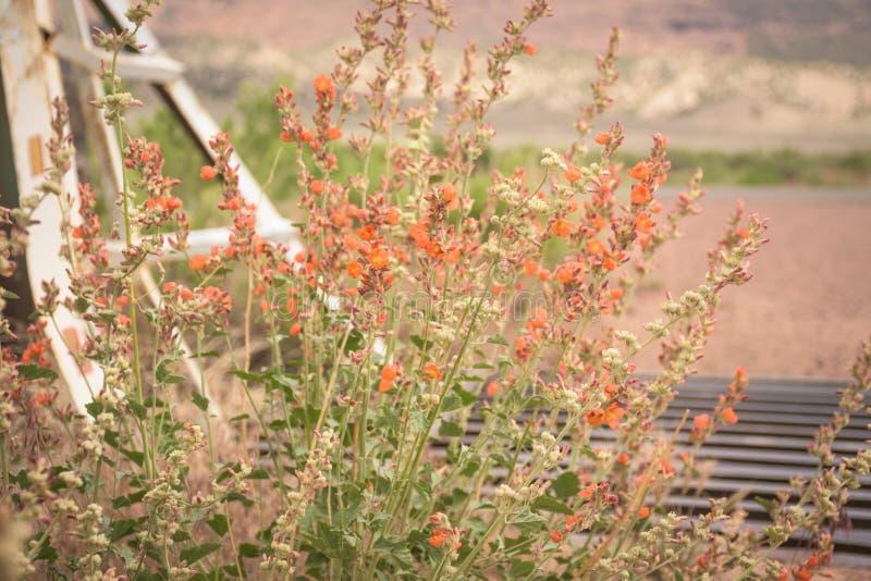 El desierto Globemallow en marrones parquea, Colorado fotos de archivo