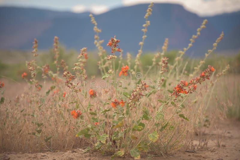 El desierto Globemallow en marrones parquea, Colorado foto de archivo
