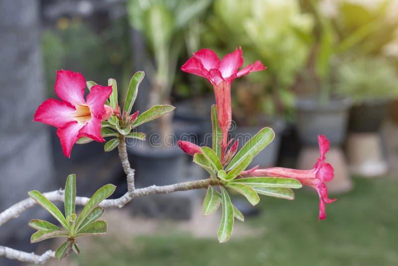El desierto rosado fresco subió, azalea falsa, pinkbignonia o las flores del lirio de impala florecen en el jardín imagen de archivo