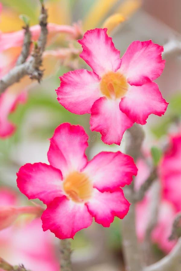 El desierto rosado subió imagen de archivo