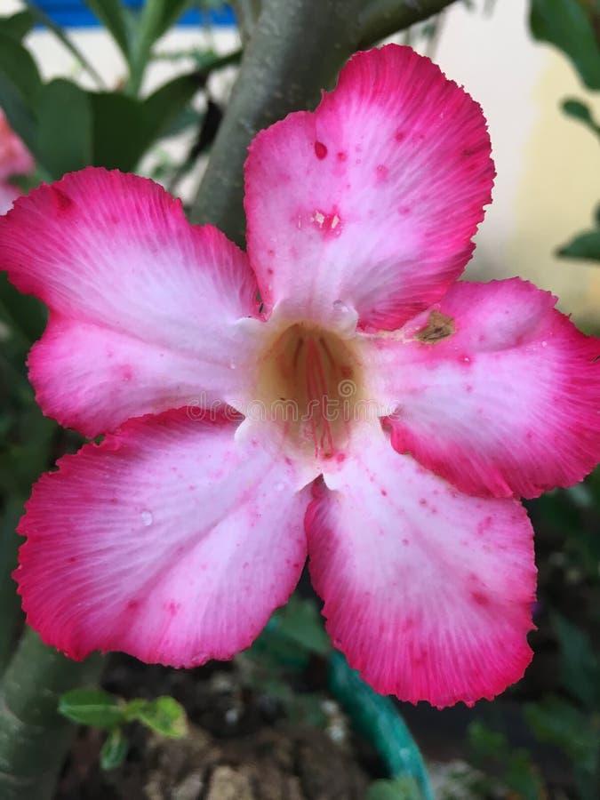 El desierto rosado subió foto de archivo