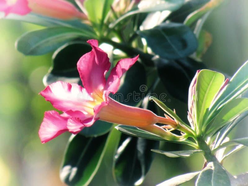 El desierto subió, el lirio de impala, azalea falsa, en un árbol en el jardín Estilo de la vendimia imagen de archivo libre de regalías