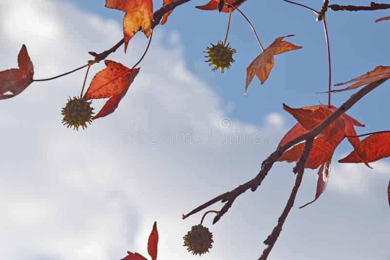 El detalle de la madera y hojas y fruta del sicómoro, acerifolia del Platanus imagen de archivo