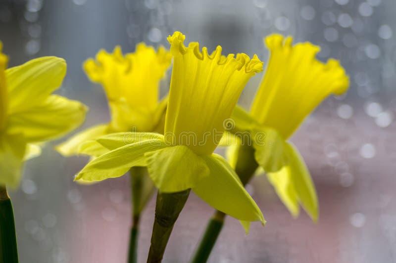 El detalle de la primavera ornamental del pseudonaricissus del narciso florece, las cabezas de flor amarillas en la floración fotos de archivo libres de regalías