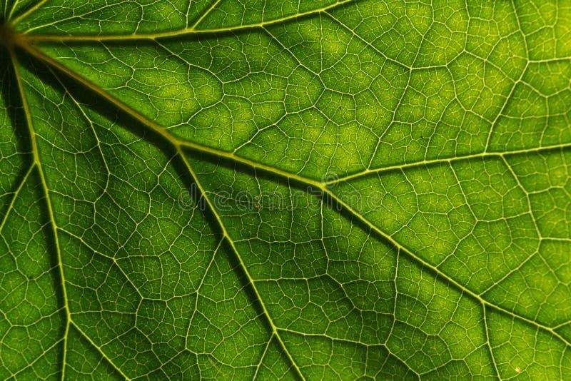 El detalle de la textura y el modelo de las venas de la planta de un higo de la hoja son la estructura similar al árbol foto de archivo