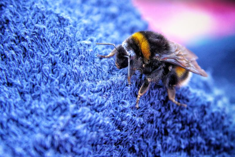 El detalle del grande manosea la abeja fotografía de archivo