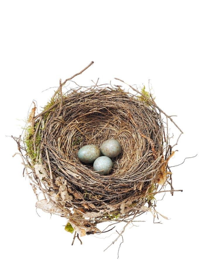 El detalle del mirlo eggs en la jerarquía aislada en blanco fotografía de archivo