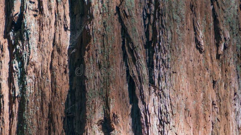 El detalle del primer de la corteza de la secoya gigante en las secoyas de Armstrong indica la reserva natural - el condado de So imágenes de archivo libres de regalías