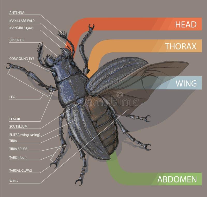 El Diagrama Del Escarabajo Preceptoral Illustrati Realista Del ...