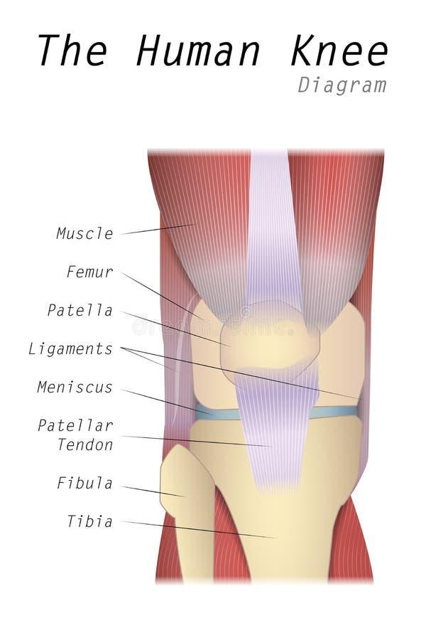 El Diagrama Humano De La Rodilla Ilustración del Vector ...