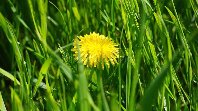 El diente de león medicinal crece en la hierba imagen de archivo
