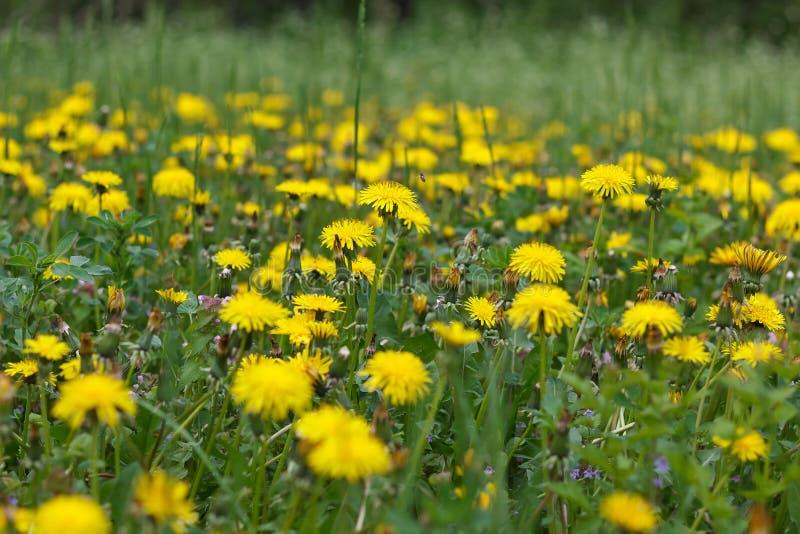 El diente de león o el celandine crece en un prado soleado en primavera y verano foto de archivo