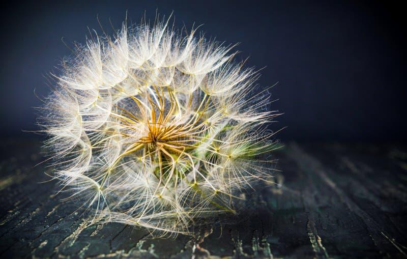 El diente de león secado tenía listo para volar en el viento del verano imagen de archivo