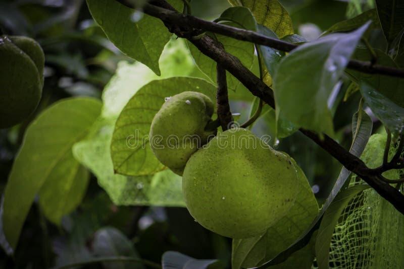 El Dillenia indica, conocido comúnmente como manzana del elefante, es una especie de natural del Dillenia a China y a Asia tropic imagenes de archivo