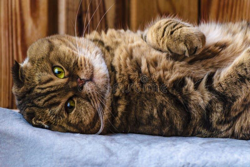 El doblez escocés se sienta en una textura de madera Gato multicolor hermoso de las rayas con los ojos de color verde amarillo Ga fotos de archivo