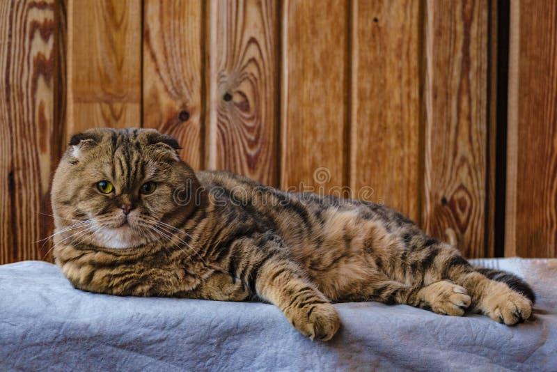 El doblez escocés se sienta en una textura de madera Gato multicolor hermoso de las rayas con los ojos de color verde amarillo Ga foto de archivo
