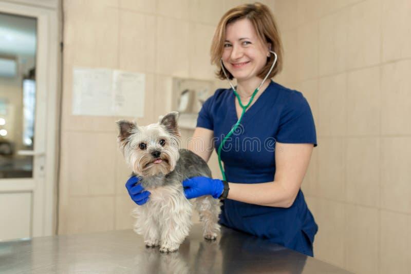 El doctor hermoso revisa la peque?a raza linda Yorkshire Terrier del perro con un estetoscopio en una cl?nica veterinaria Perro f fotos de archivo