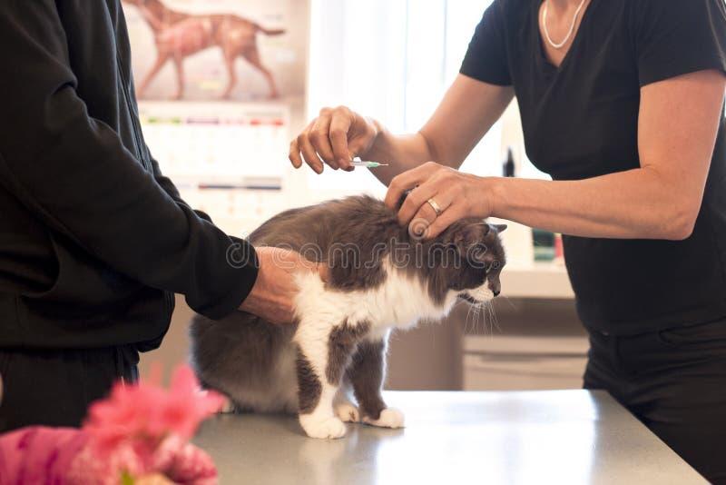 El doctor inyecta un gato en una clínica veterinaria fotografía de archivo