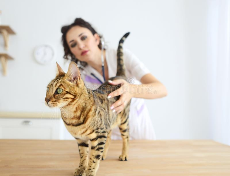 El doctor veterinario está haciendo un control para arriba de un gato hermoso lindo fotos de archivo libres de regalías
