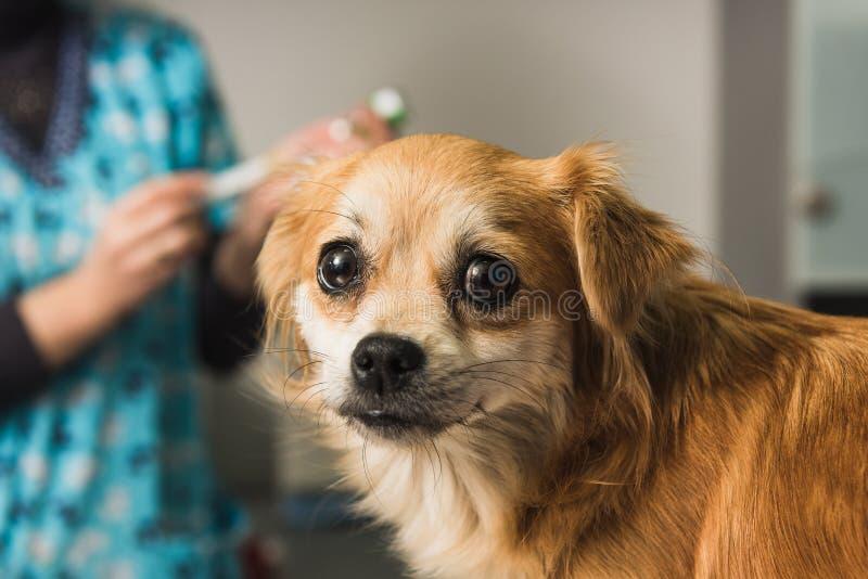 El doctor veterinario examina un perro mestizo foto de archivo libre de regalías