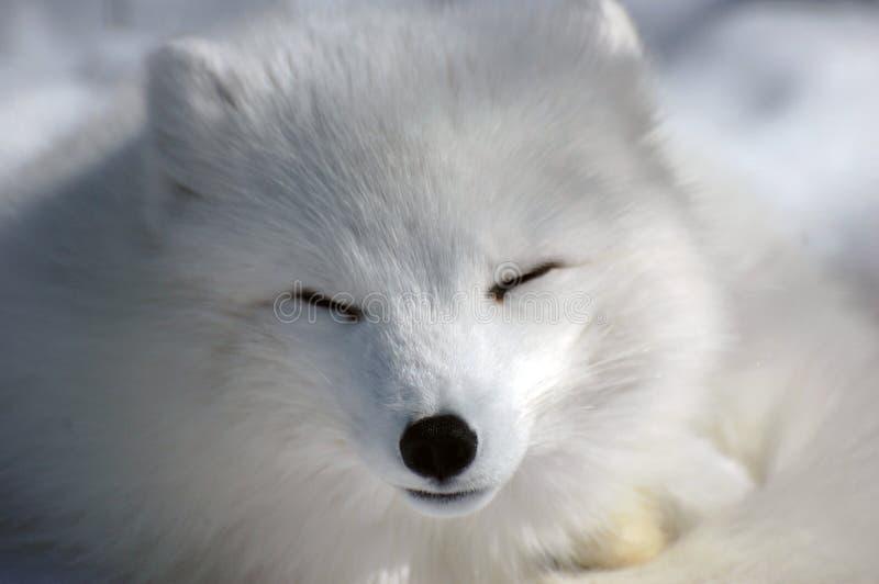 El dormir ártico del zorro foto de archivo