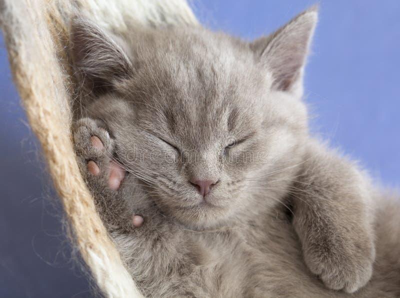 El dormir británico del gatito fotografía de archivo