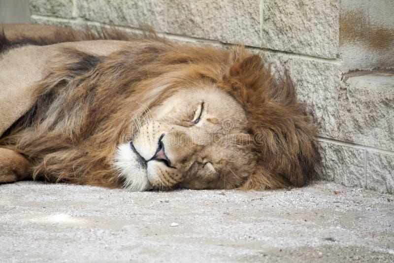 El dormir cansado del león fotos de archivo libres de regalías
