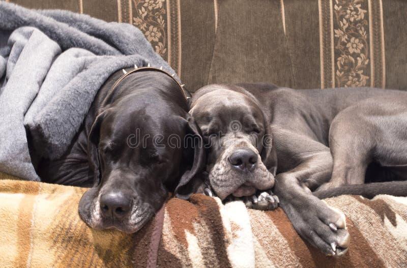 El dormir de dos perros imágenes de archivo libres de regalías