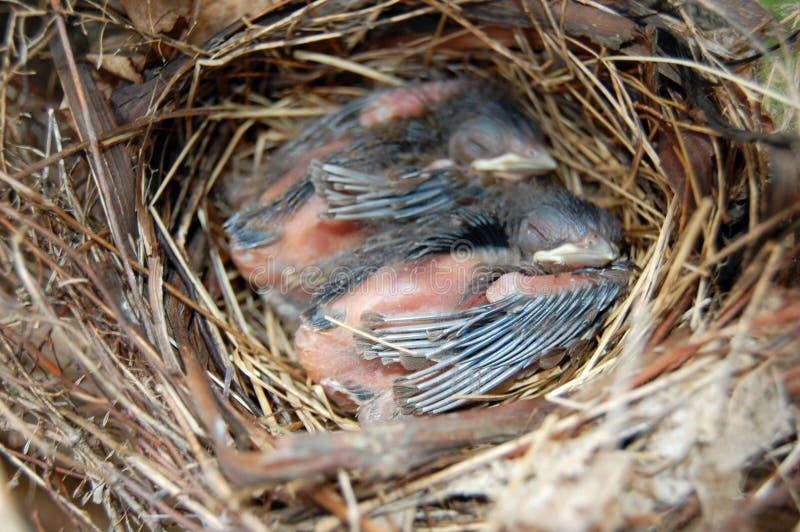 El dormir de los cardenales del bebé foto de archivo libre de regalías