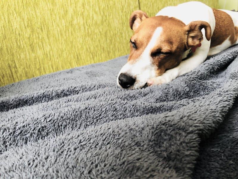El dormir de mentira del amigo del perro de Jack Russell en un sofá fotografía de archivo