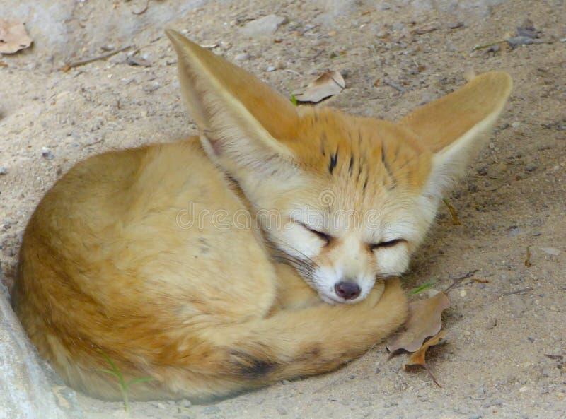 El dormir del Fox de Fennec imagen de archivo libre de regalías