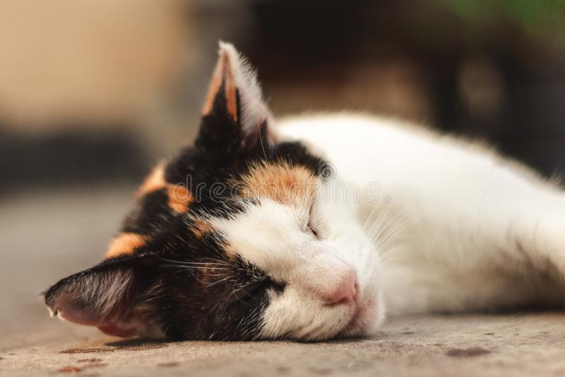 El dormir del gato de calicó al aire libre imagen de archivo libre de regalías