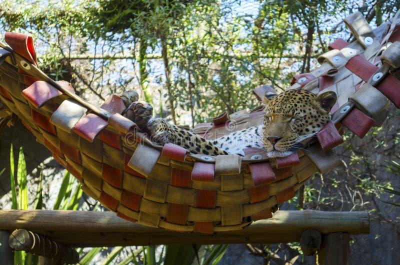 El dormir del guepardo fotografía de archivo