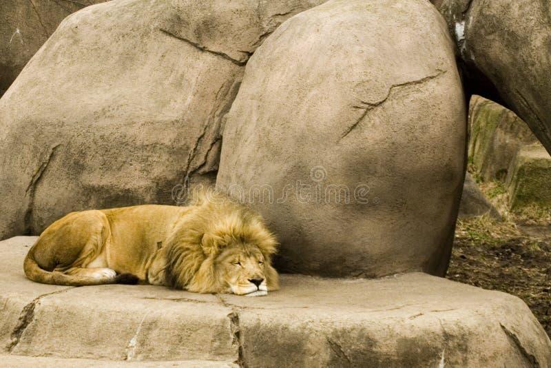 El dormir del león fotografía de archivo libre de regalías