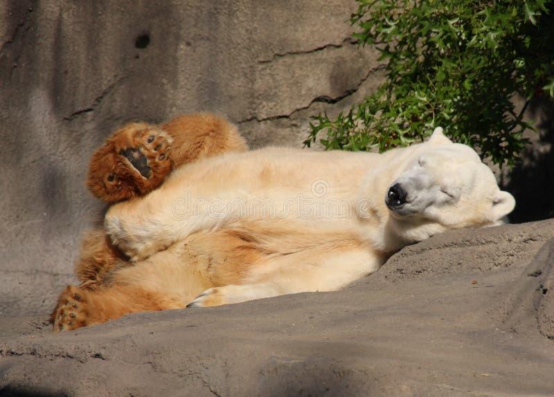 El dormir del oso polar foto de archivo libre de regalías