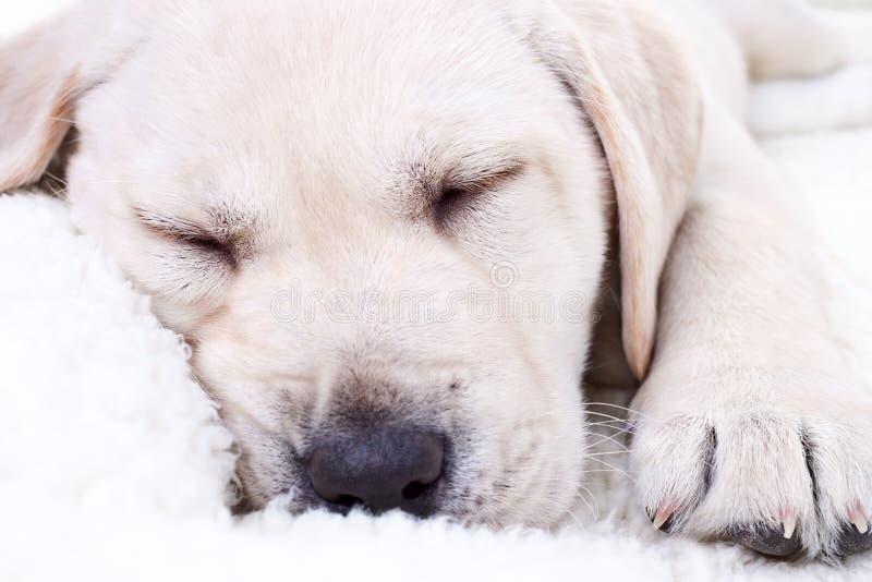 El dormir del perrito fotografía de archivo libre de regalías