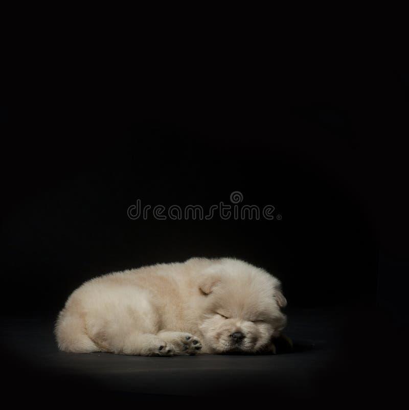 El dormir del perrito del perro chino fotografía de archivo