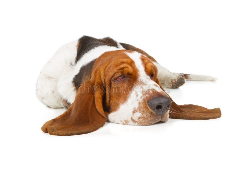 El dormir del perro de Basset Hound fotos de archivo libres de regalías