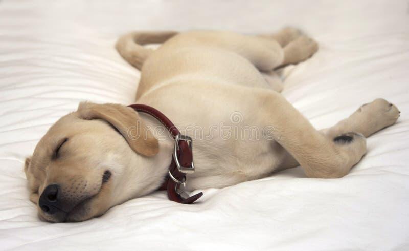 El dormir del perro de perrito imagenes de archivo