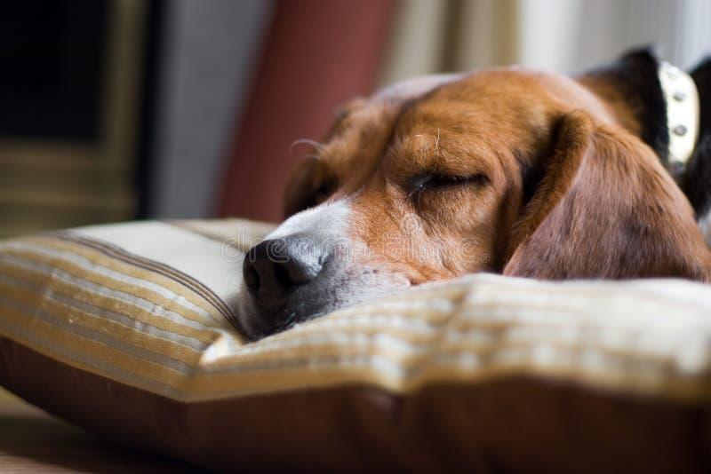 El dormir del perro del beagle imagenes de archivo