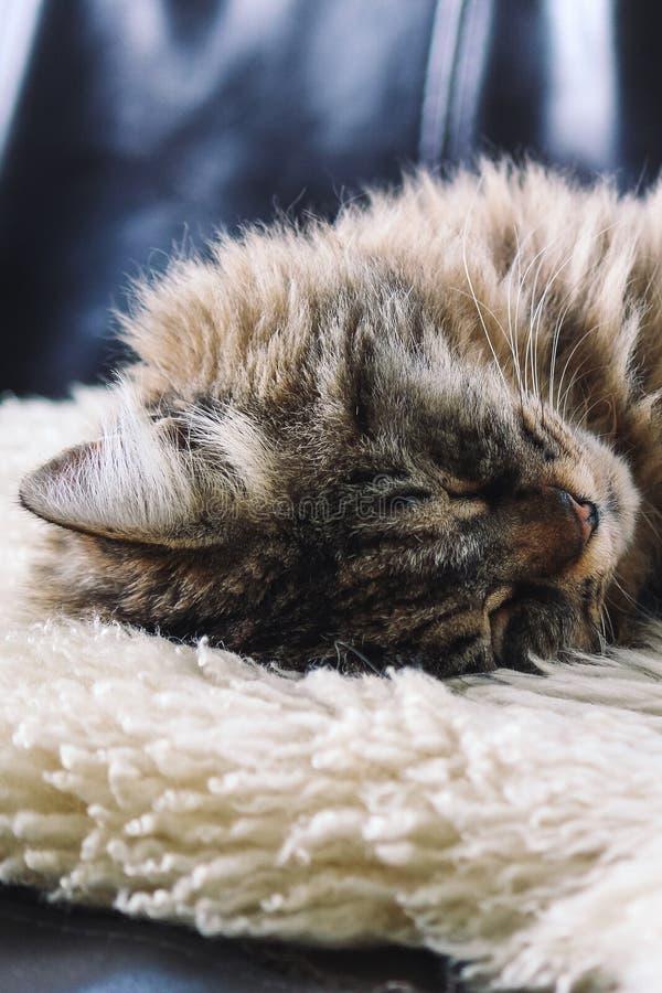 El dormir gris del gato del gato atigrado Mentira hermosa del gato, tomando una siesta en la manta mullida blanca Cuteness, conce imagen de archivo libre de regalías
